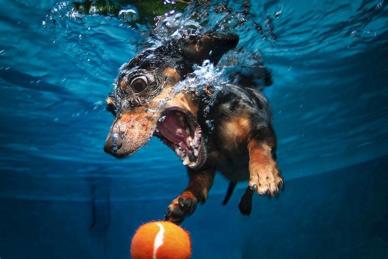 Cane Pincher prende pallina sotto acqua